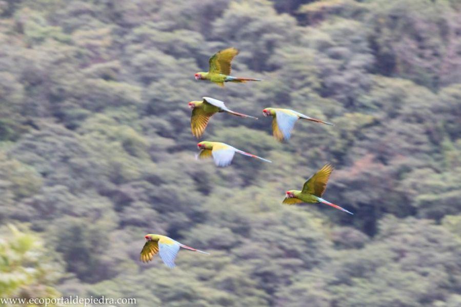 En Salta, se duplicó la población de Guacamayos Verdes